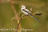 staartmees_long-tailed_tit_aegithalos_caudatus_20141220_1167607292