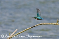 ijsvogel_common_kingfisher_alcedo_atthis_20141220_1003230974