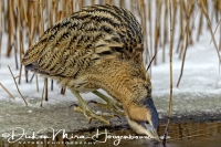 roerdomp_great_bittern_botaurus_stellaris_2_20141220_1166755386