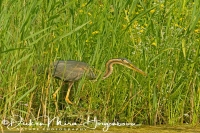 purperreiger_purple_heron_ardea_purpurea_20141220_1521594695