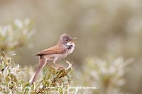 grasmus_common_whitethroat_sylvia_communis_20141220_1318694001