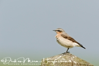 tapuit_northern_wheatear_oenanthe_oenanthe_20141220_1787737896