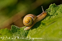 gewone_tuinslak_grove_snail_or_brown-lipped_snail_cepaea_nemoralis_20141220_1040319637