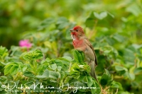roodmus_common_rosefinch_carpodacus_erythrinus_20141220_1584848685