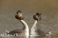 fuut_great_crested_grebe_podiceps_cristatus_5_20141220_1475301336