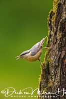 boomklever_wood_nuthatch_sitta_europaea_20141220_1176147050