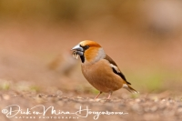 appelvink_hawfinch_coccothraustes_coccothraustes_20141220_1077560276