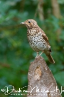 zanglijster_song_thrush_turdus_philomelos_20141220_1056764201