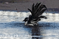 ekster_magpie_pica_pica_3_20141220_1721827794