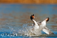 fuut_great_crested_grebe_podiceps_cristatus_3_20141220_1627728315