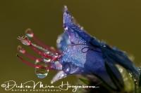 slangenkruid_vipers_bugloss_or_blue_weed_echium_vulgare_20141220_1513896772
