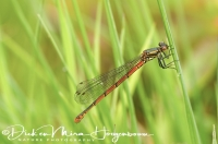 vuurjuffer_large-red_damselfly_pyrrhosoma_nymphula_20141220_1582262109