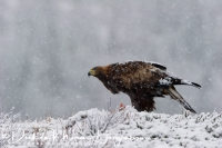 steenarend_golden_eagle_aquila_chryssaetos_18_20141219_1462666321