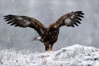 steenarend_golden_eagle_aquila_chryssaetos_15_20141219_1579058047