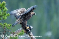 steenarend_golden_eagle_aquila_chryssaetos_3_20141219_2093699824