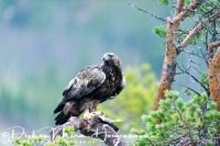steenarend_golden_eagle_aquila_chryssaetos_4_20141219_1689772875