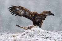 steenarend_golden_eagle_aquila_chryssaetos_16_20141219_1014096374