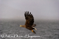 steenarend_golden_eagle_aquila_chryssaetos_19_20141219_1211689821