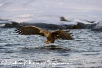 zeearend_white-tailed_eagle_haliaeetus_albicilla_11_20141219_2007669631