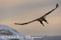 zeearend_white-tailed_eagle_haliaeetus_albicilla_15_20141219_1815860281