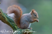eekhoorn_red_squirrel_sciurus_vulgaris1_20141219_1664348810