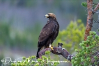 steenarend_golden_eagle_aquila_chryssaetos_13_20141219_1205456814