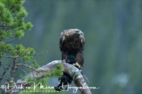 steenarend_golden_eagle_aquila_chryssaetos_1_20141219_1152194572