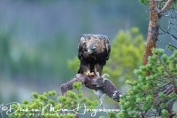 steenarend_golden_eagle_aquila_chryssaetos_6_20141219_1117959709