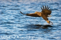 zeearend_white-tailed_eagle_haliaeetus_albicilla_8_20141219_1470427317