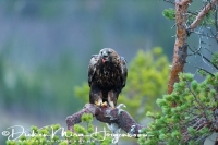steenarend_golden_eagle_aquila_chryssaetos_7_20141219_1102507933