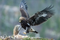steenarend_golden_eagle_aquila_chryssaetos_8_20141219_1273195539