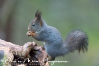 eekhoorn_red_squirrel_sciurus_vulgaris_20141219_1017781018