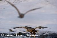 zeearend_white-tailed_eagle_haliaeetus_albicilla_10_20141219_1842023512