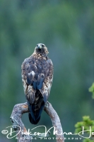 steenarend_golden_eagle_aquila_chryssaetos_9_20141219_1481777748