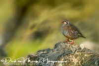 rode_patrijsred-legged_partridge_alectoris_rufa_20141219_1505458494
