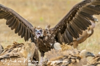 monniksgier_monk_vulture_aegypius_monachus_20141219_1797691704