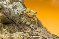 boomkikker_common_treefrog_hyla_arborea_3_20141219_1905352156