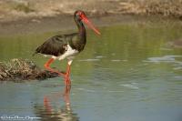 Zwarte Ooievaar op stap - Black Stork - Ciconia nigra