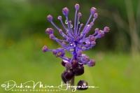 kuifhyacint_tassel_hyacinth_leopoldia_comosa1_20141219_1997067413