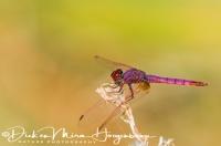purperlibel_violet_dropwing_trithemis_annulata_20141219_1603001491