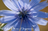 wilde_cichorei_common_chicory_cichorium_intybus_1_20141219_1297327468