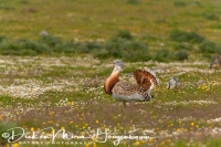 grote_trap_great_bustard_otis_tarda_2_20141219_1910827335