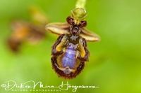 spiegelorchis_ophrys_speculum_4_20141219_1336913421