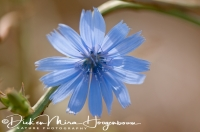 wilde_cichorei_common_chicory_cichorium_intybus_20141219_1142384040