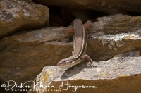 muurhagedis_common_wall-lizard_podarcis_muralis_20141219_1948732346