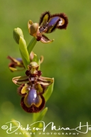 spiegelorchis_ophrys_speculum_20141219_1969560792