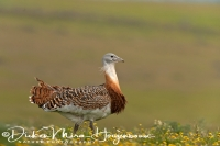 grote_trap_great_bustard_otis_tarda_6_20141219_1108533133