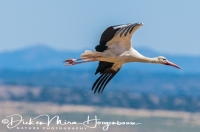 ooievaarwhite_stork_ciconia_ciconia_20141219_1041494578