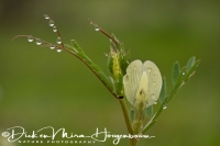 gele_wikke_yellow_vetch_vicia_lutea__20141219_2013611417