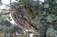 steenuil_little_owl_athene_noctua_1_20141219_1322649185